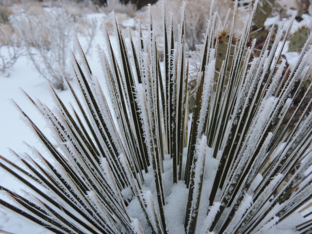 Rime ice on narrowleaf yucca.  This is the same variety that I obtain yucca fibers from.