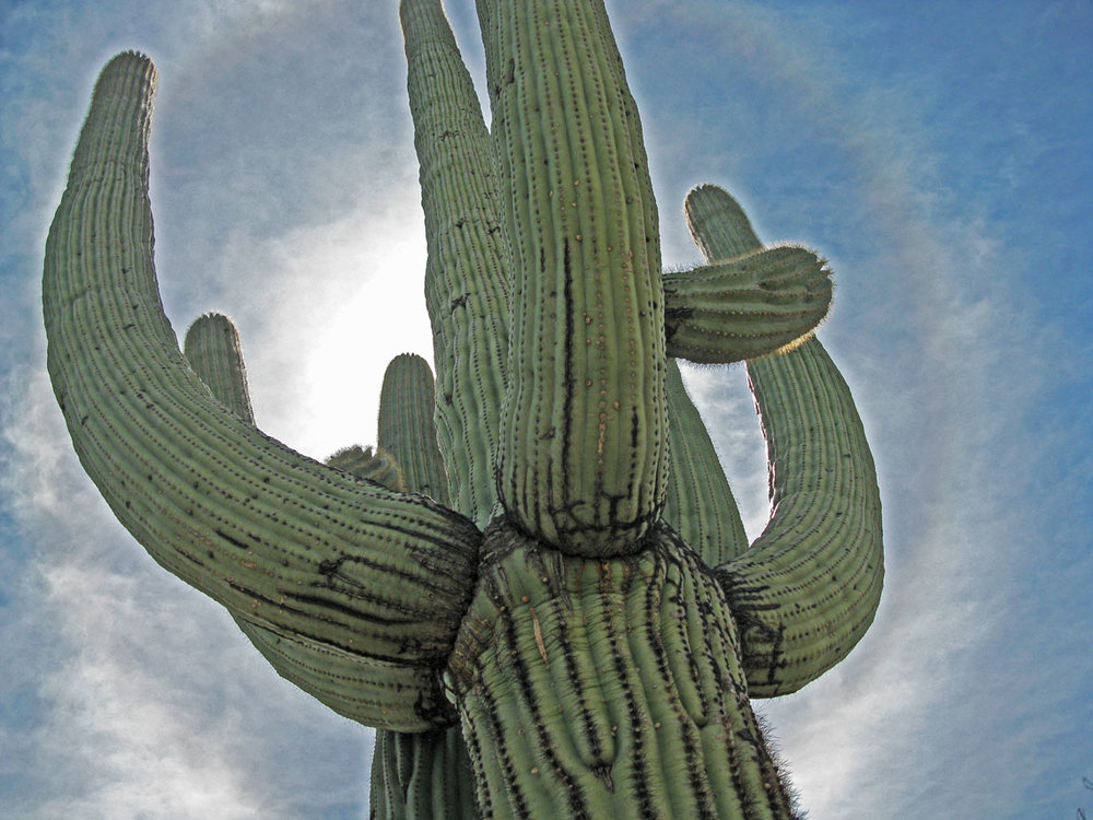 The saguaro cactus embodies strength in a challenging environment.