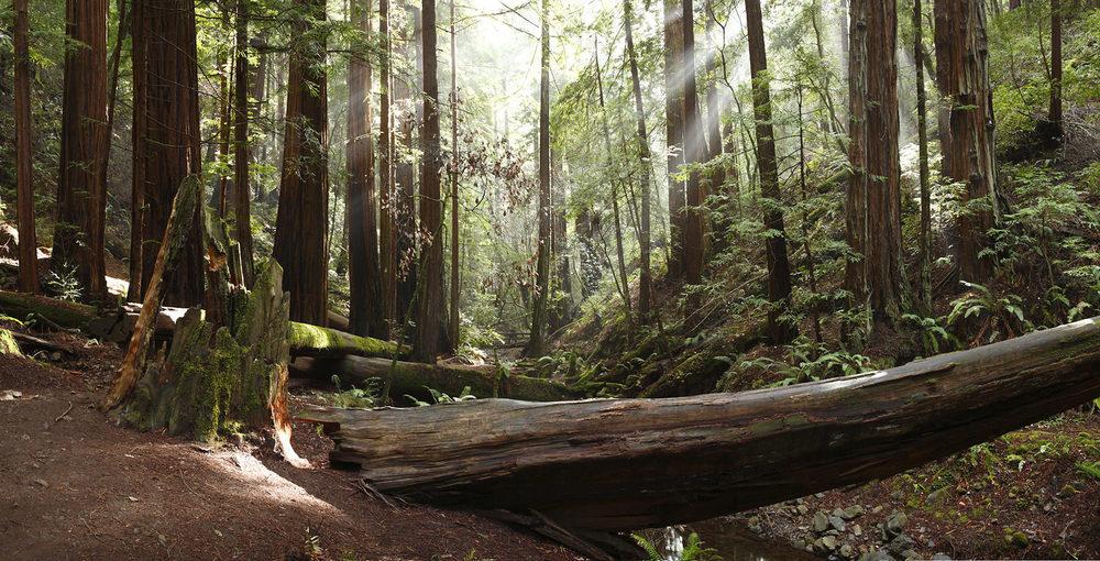 Muir_Woods_Pano-7633.jpg
