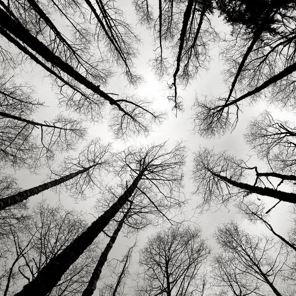 Tree_Tops_2391.jpg