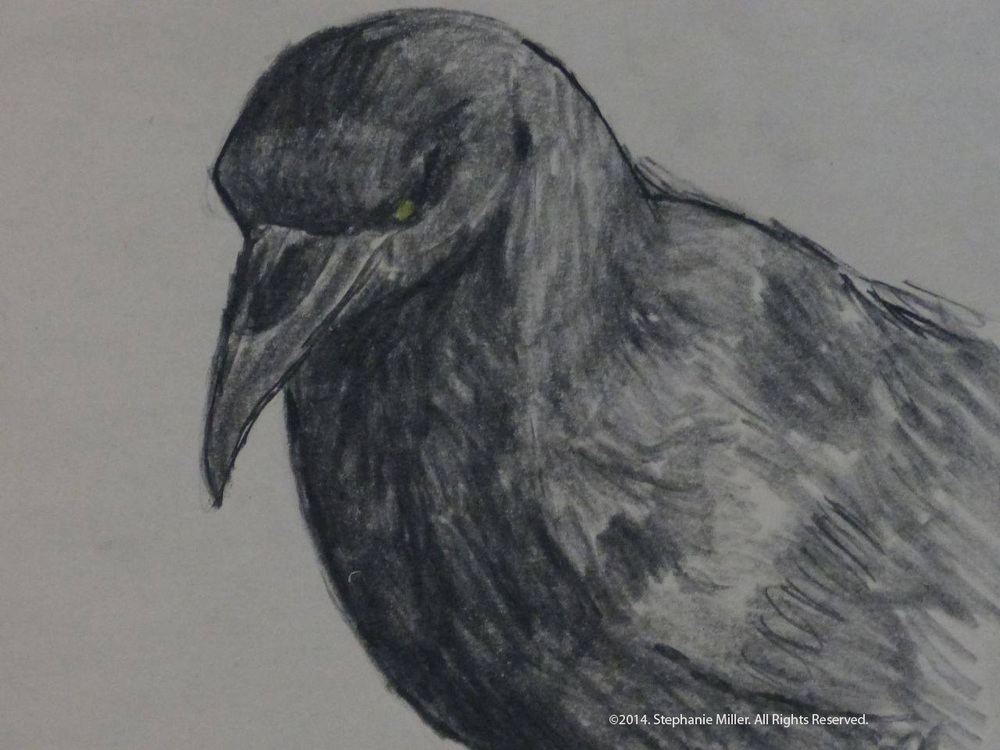 This sketch was drawn from a photo of a crow on my lawn. Generally I find that crows and ravens don't like having their pictures taken. They usually fly away as soon as break out the camera. This fellow wasn't camera shy. He allowed me to take a beautiful photo which I later sketched. Original sketch SOLD