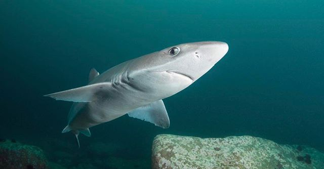 Amazing discovery news from the underwater medical world. Recently published in the Proceedings of the National Academy of Sciences, a new study reveals that #squalamine, a compound derived from tissues of the dogfish shark (pictured), halted the buildup and toxicity of the protein alpha-synuclein (α-synuclein) in roundworm models of Parkinson's disease and human neuronal cells. Meaning...squalamine has the potential to reduce the formation of toxic proteins related to the development of Parkinson's disease, new research suggests. In the United States, up to 1 million people are living with Parkinson's, and each year, approximately 60,000 people in the country are diagnosed with the disease. Dogfish sharks are the second largest of shark orders with 119 species. Dogfish come in all shapes, sizes, and colors and they live in almost every ocean habitat and depth. This group of sharks are an exercise in extremes. Dogfish are represented by what is thought to be the smallest shark species (Dwarf lantern shark, which only grows to about 6 inches) and some of the largest (Greenland and Sleeper sharks). #sharksavers Photo @atravellersguidetoafrica @scubadiverlife #parkinsons #medicalnews #diseaseresearch #discovery #dogfish #science