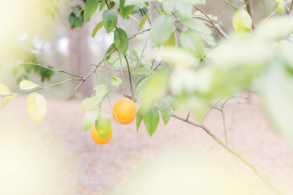 I know these are oranges but I don't run across too many lemon trees!
