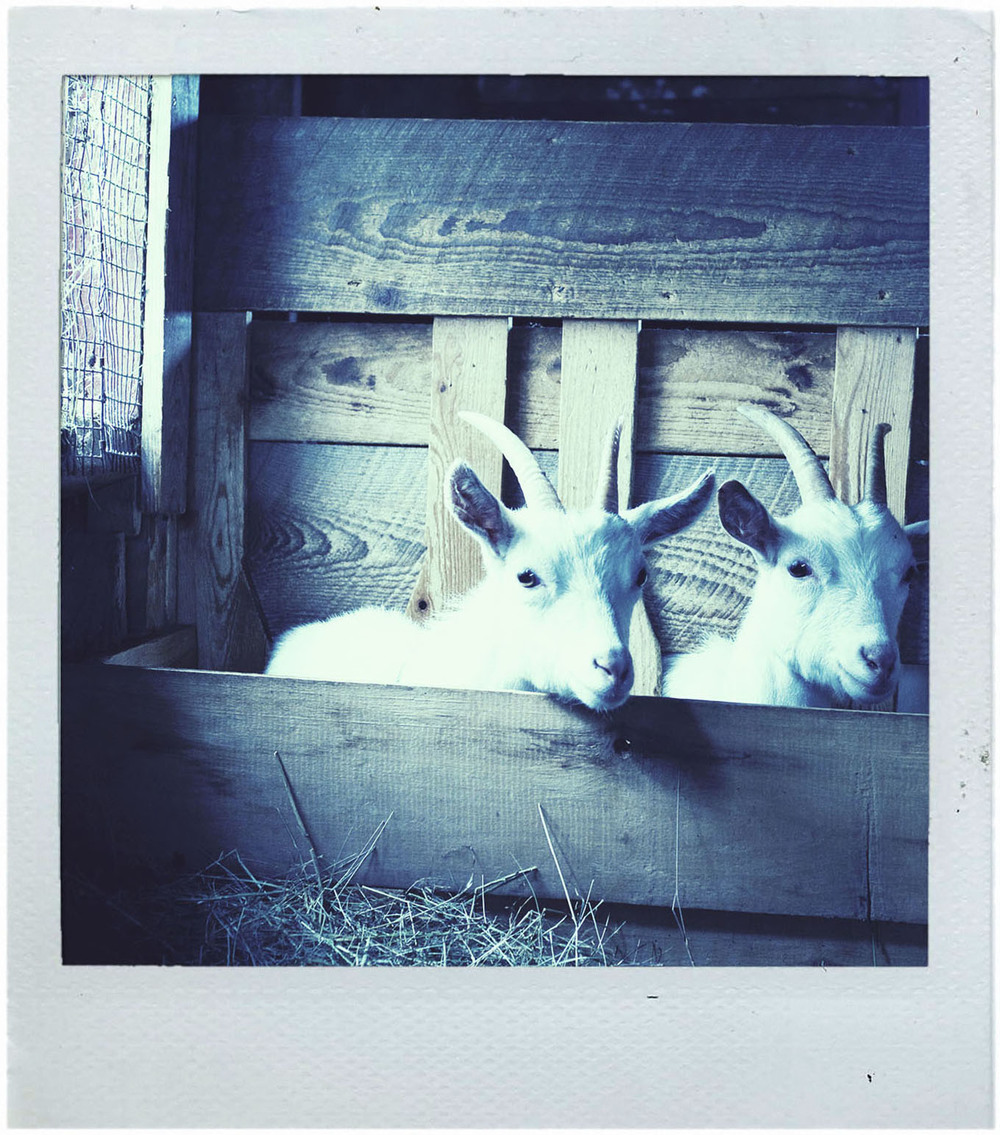 polaroid_goats2.jpg