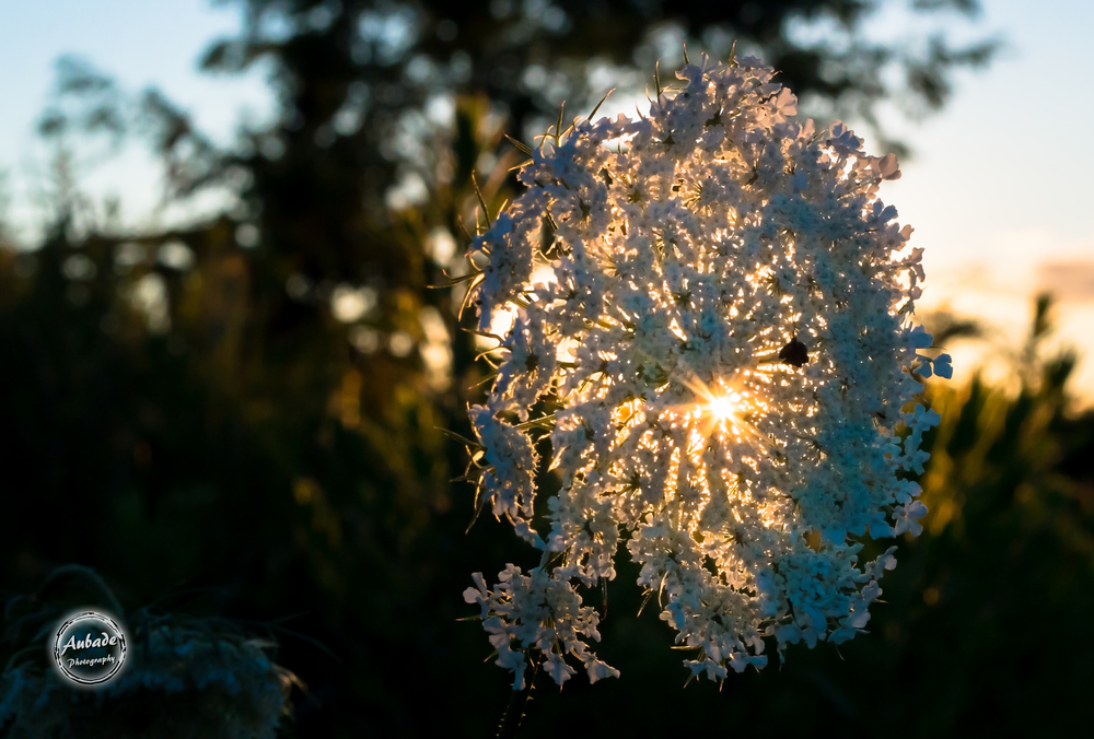 #flower #sunset #eauclairewi #aubadephotography #eauclairephotographer