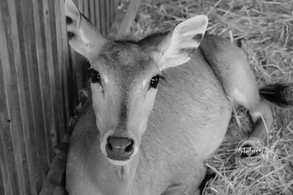 #Aubade Photography #Wisconsin Photographer #Animal Sanctuary #Deer