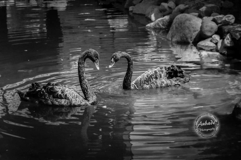 #Aubade Photography #Wisconsin Photographer #Animal Sanctuary #black swans