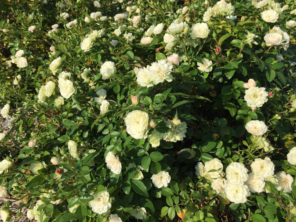 Drift Rose 'Popcorn' (Rosa 'novarospop')   - A low growing shrub with summer blooms.
