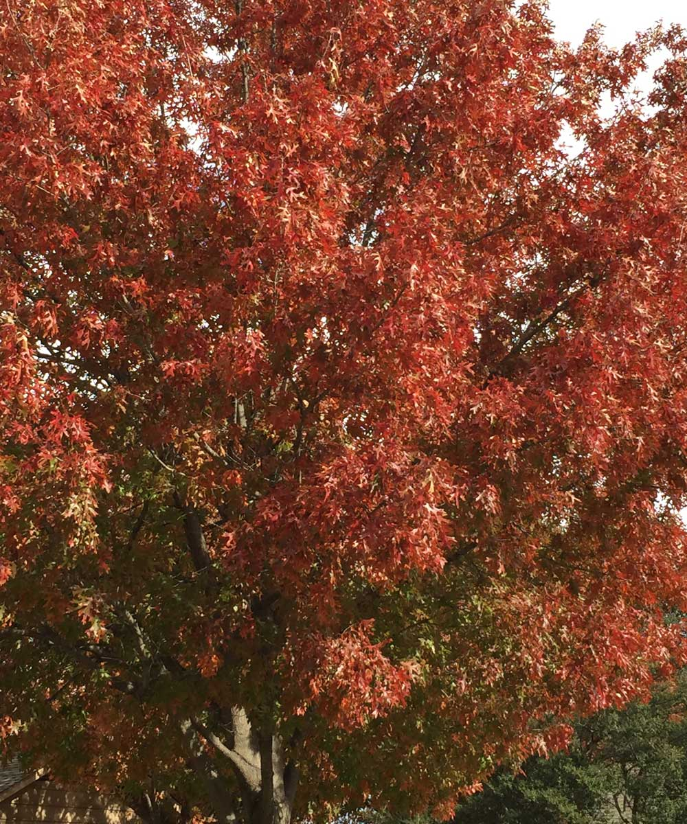 Red oaks can produce a wide variety of deep red colors in the fall.