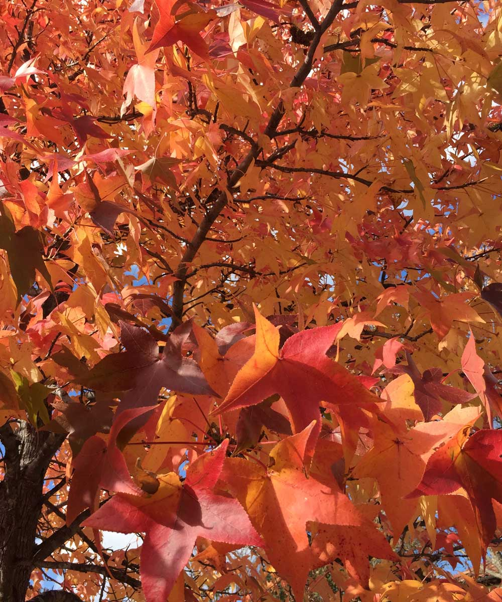 A close up view of the vibrant colors of the fall leaves of the Sweetgum tree.