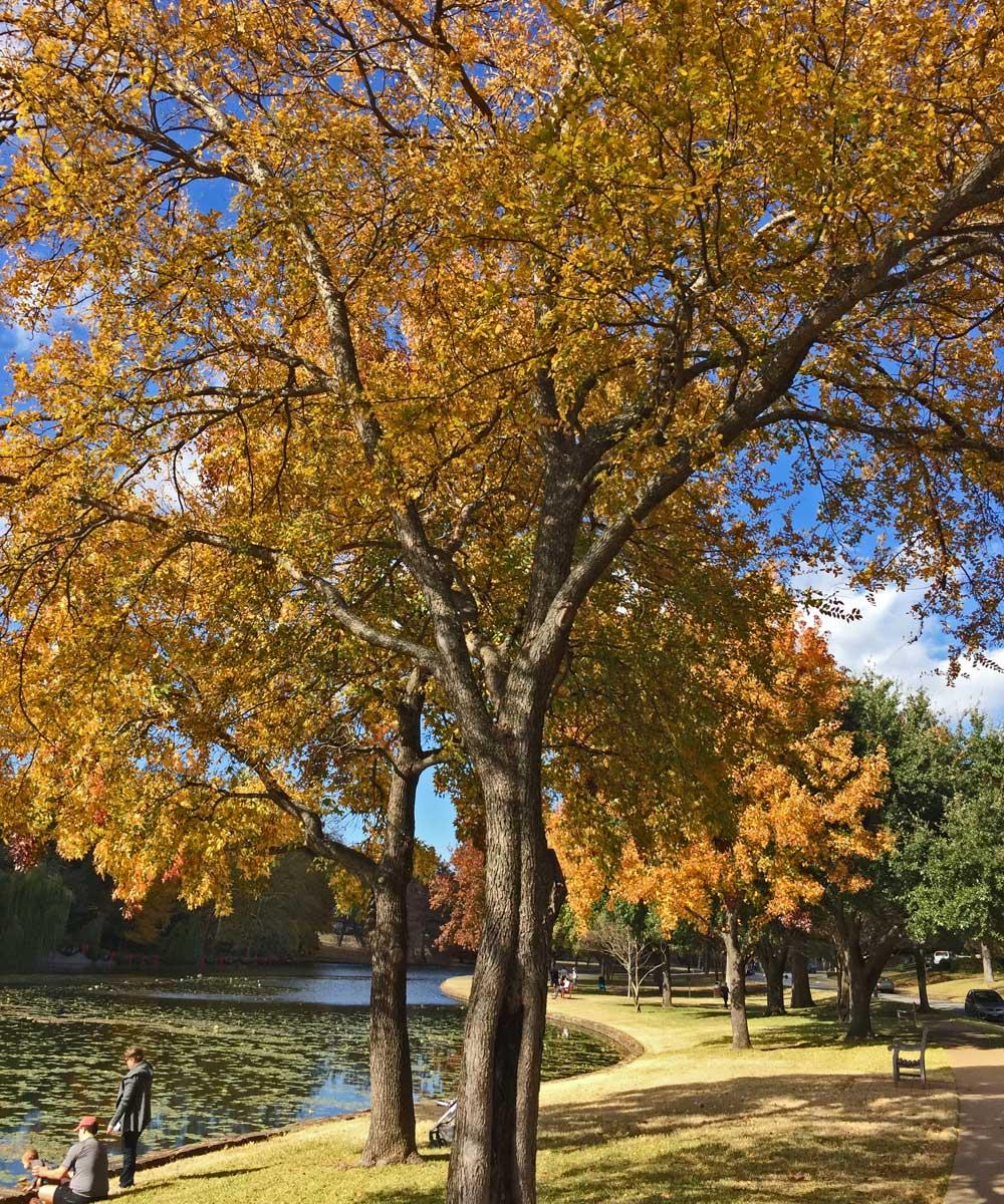 Cedar Elm trees along the lakeside in Highland Park.