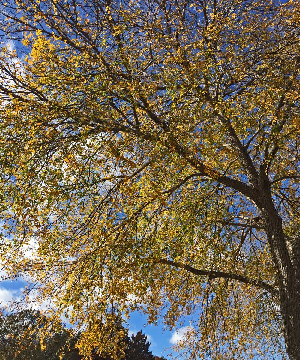 Cedar Elms turn a bright yellow in the fall.