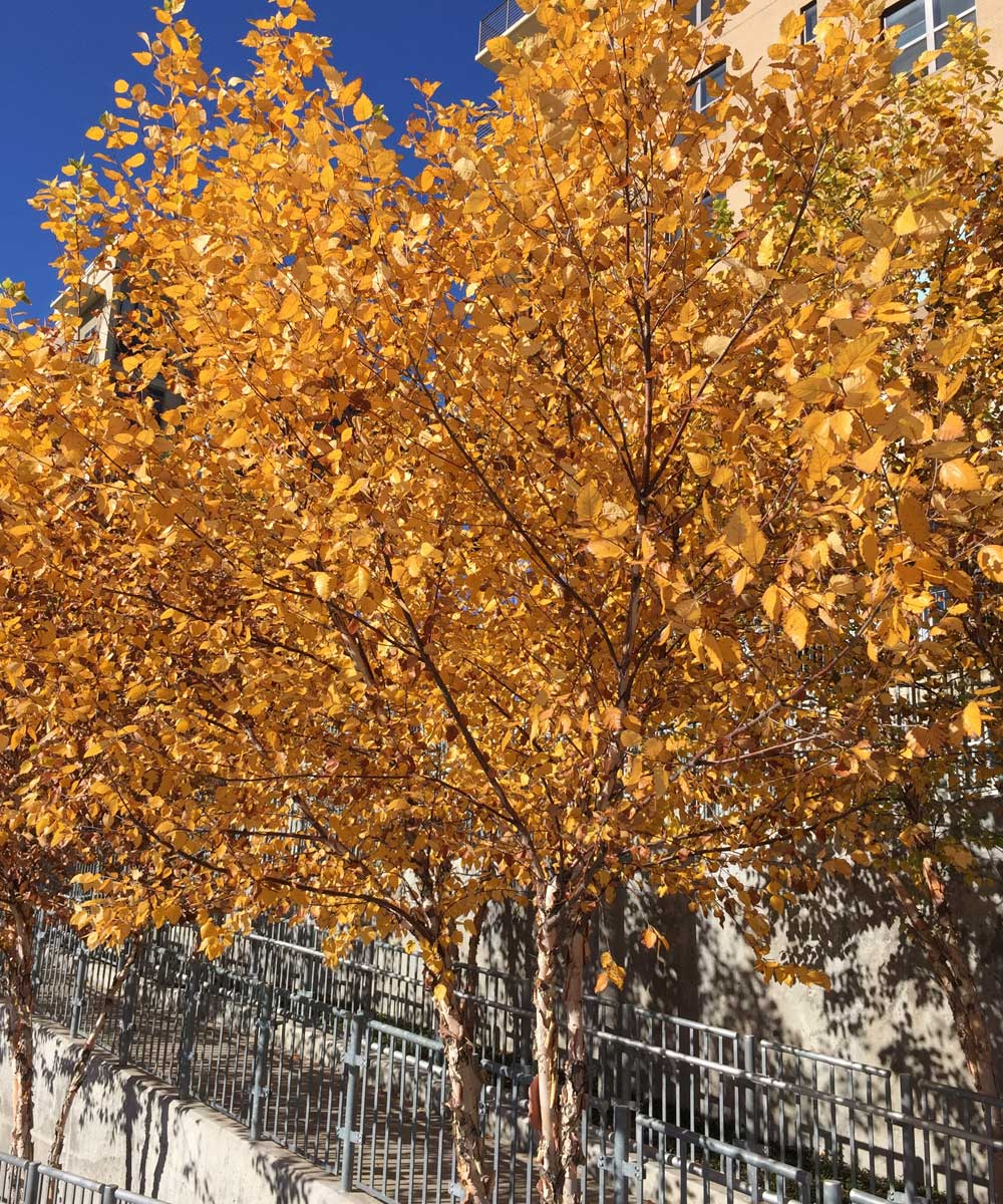 River Birch trees showing a vibrant yellow color in the fall.