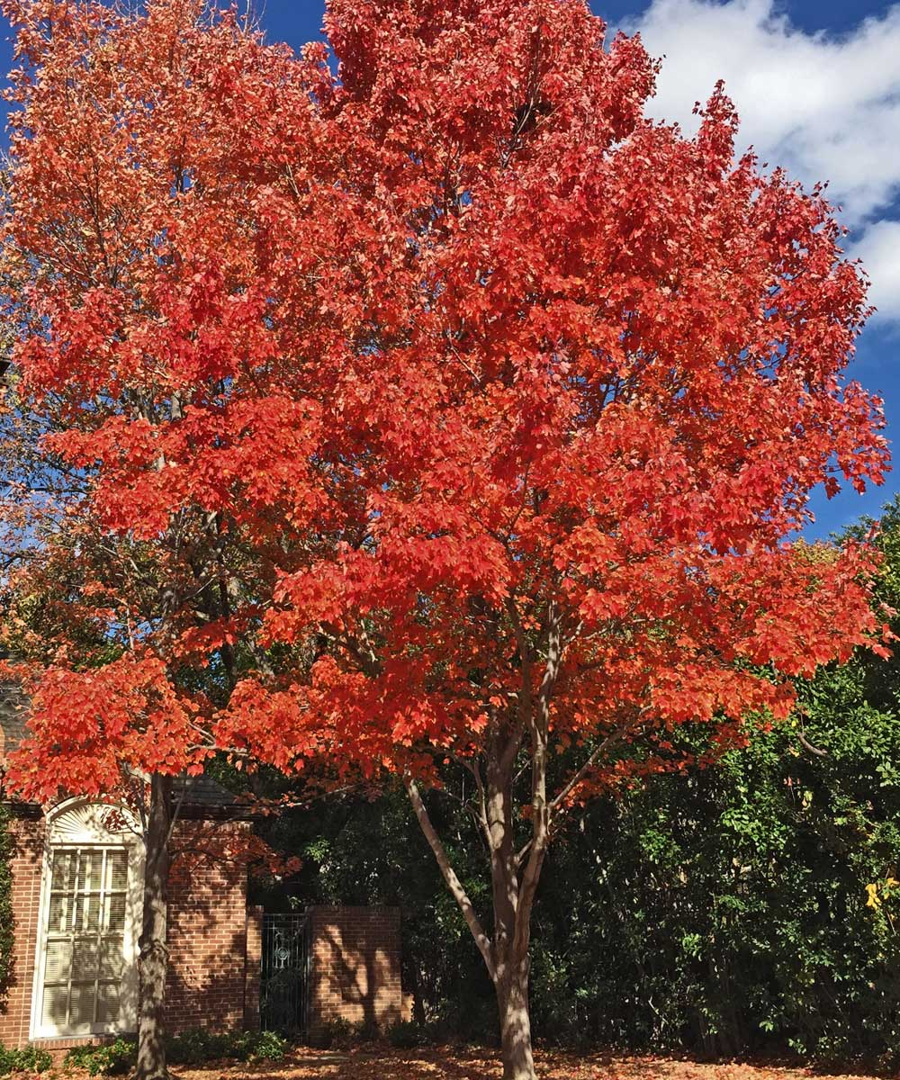 You can hardly miss the stunning show of color provided by the October Glory Maples in the fall.