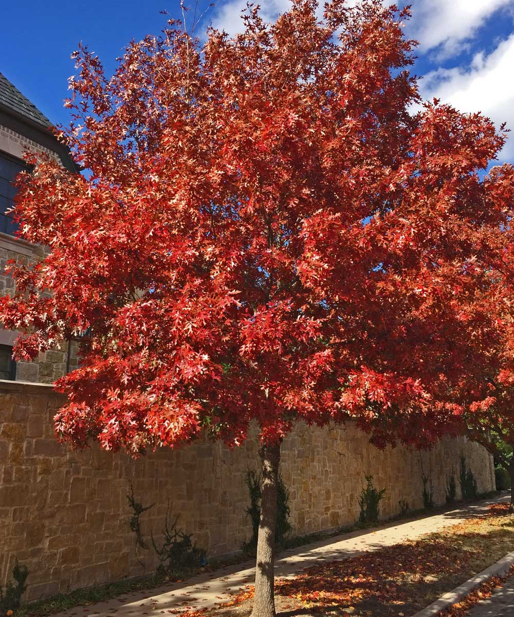 red oak tree fall color