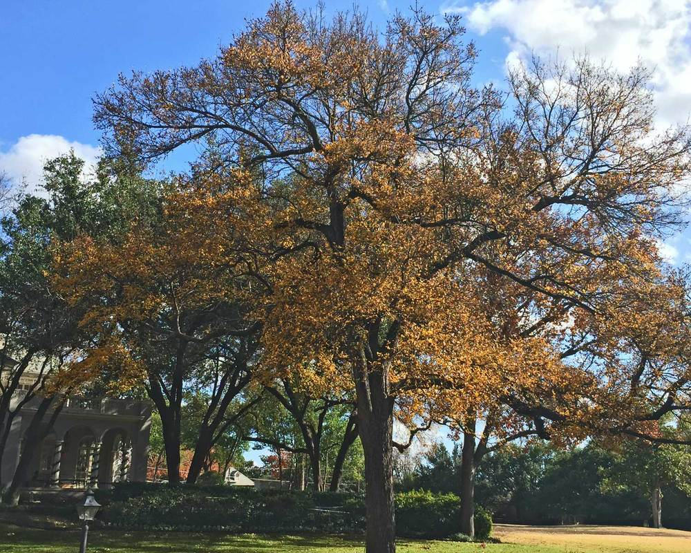 cedar elm tree fall color