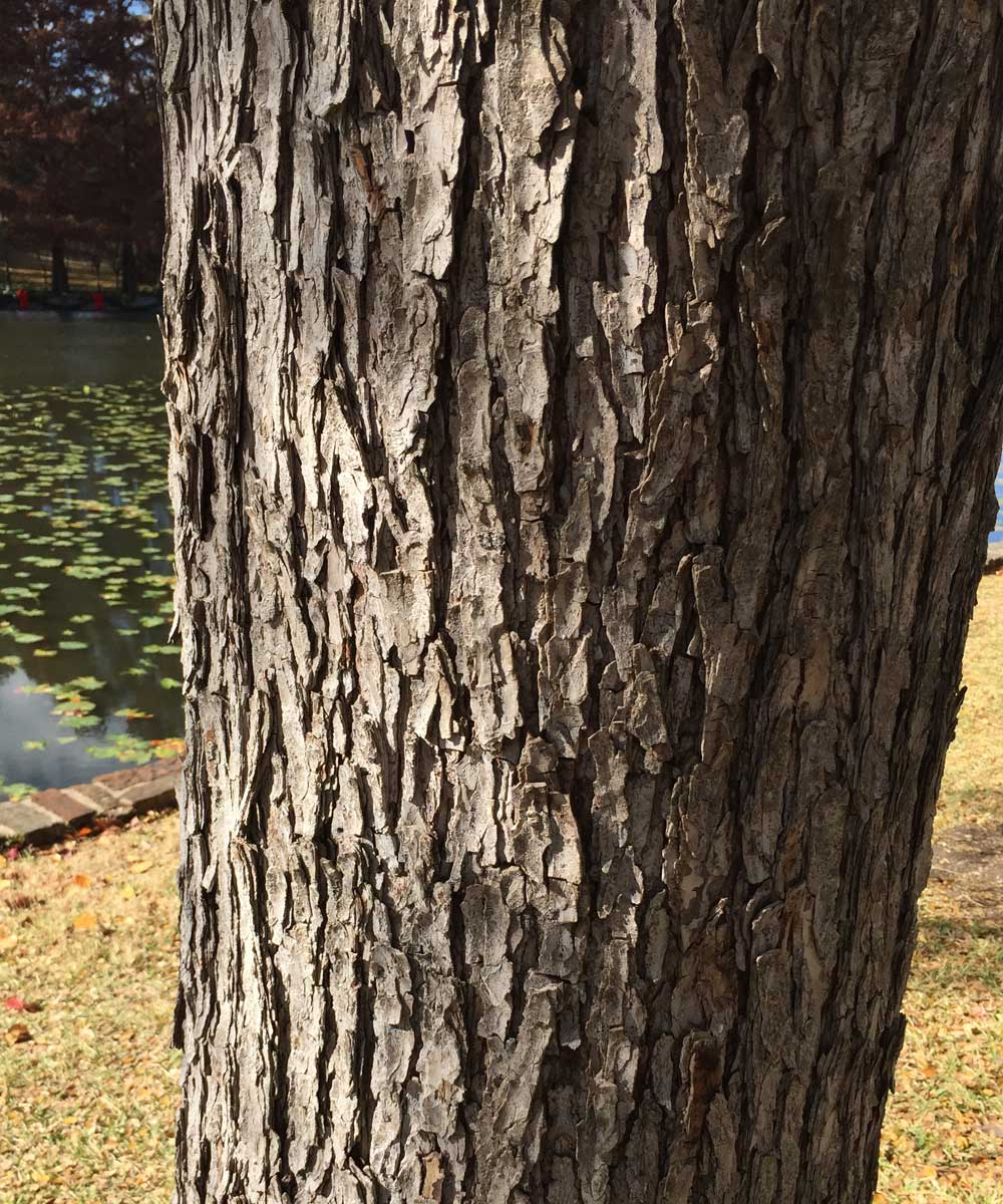 cedar elm tree bark
