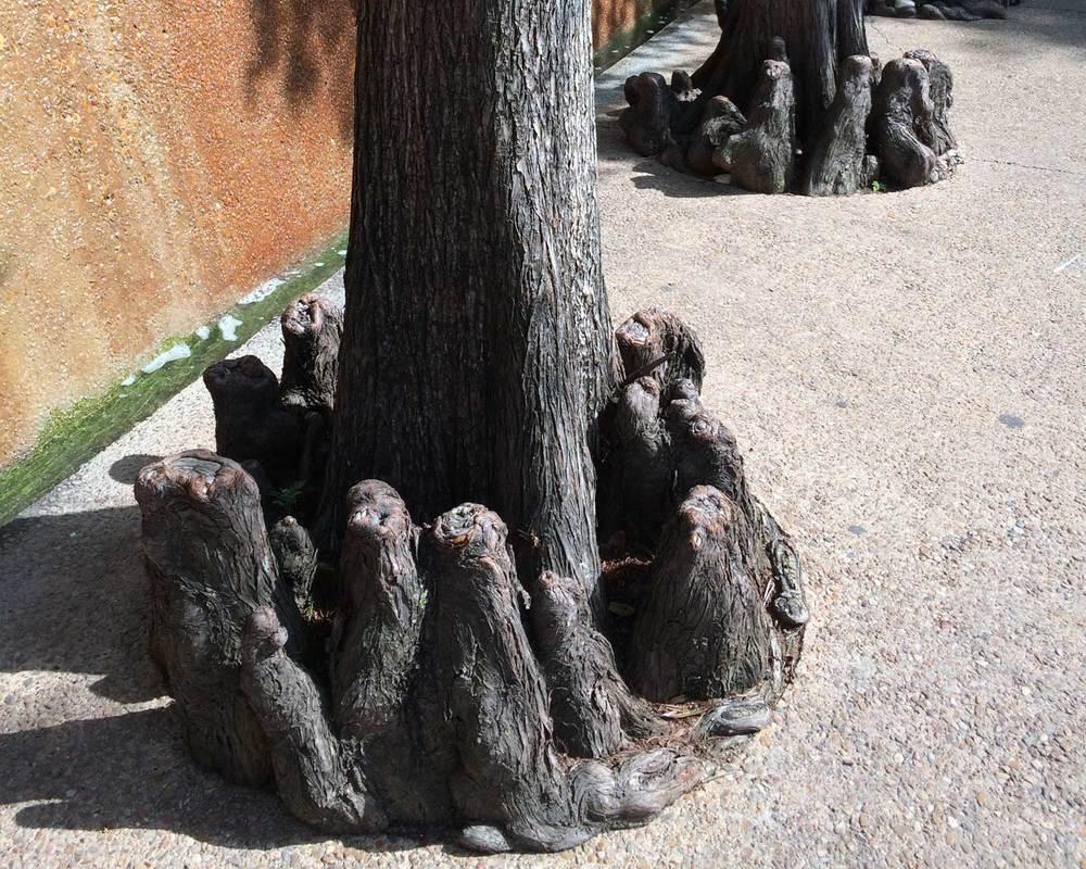 bald cypress tree stumps