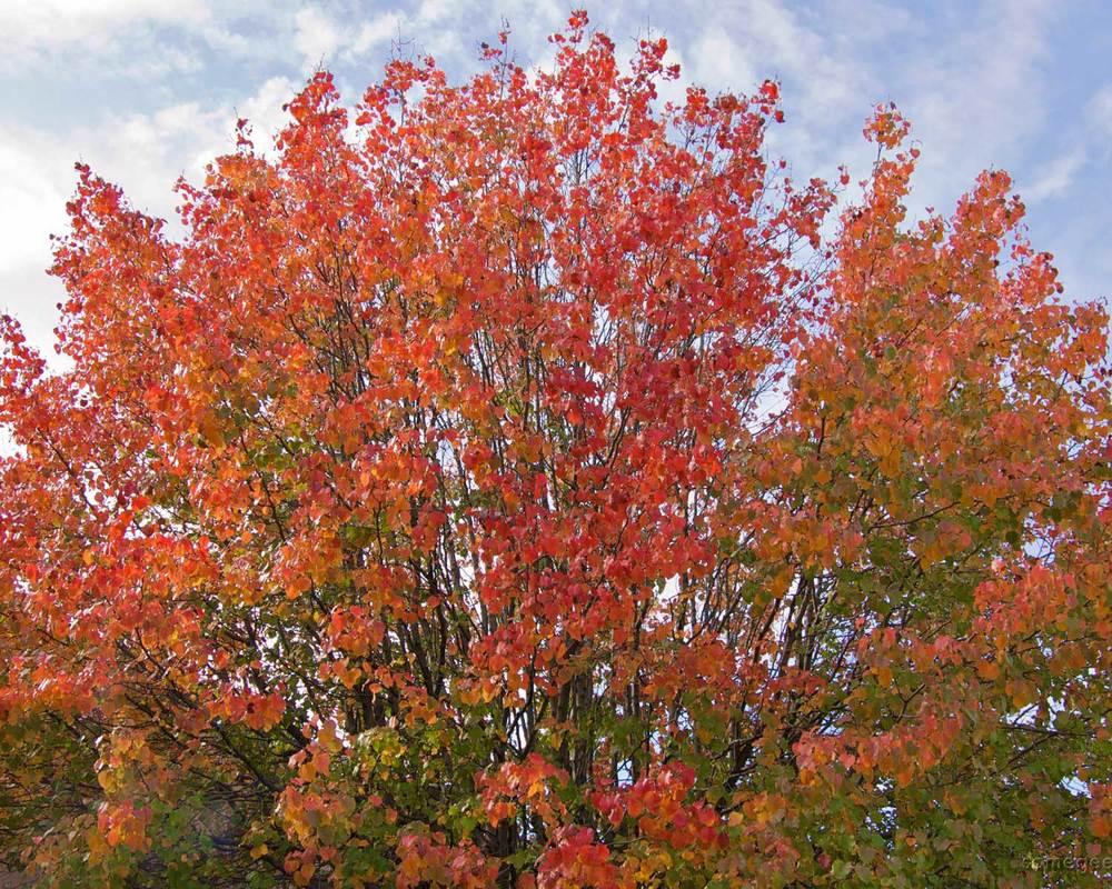 Bradford Pear fall color (via Flickr - Casey Fleser)
