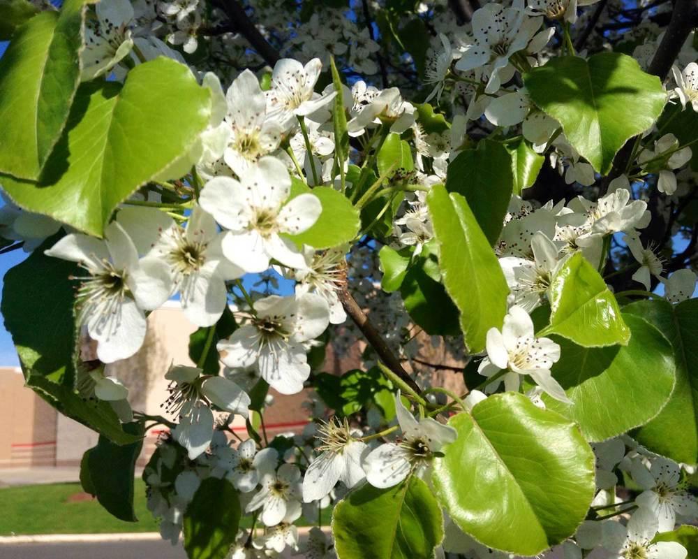 Bradford Pear blooms  (via Flickr - Mike Mozart)