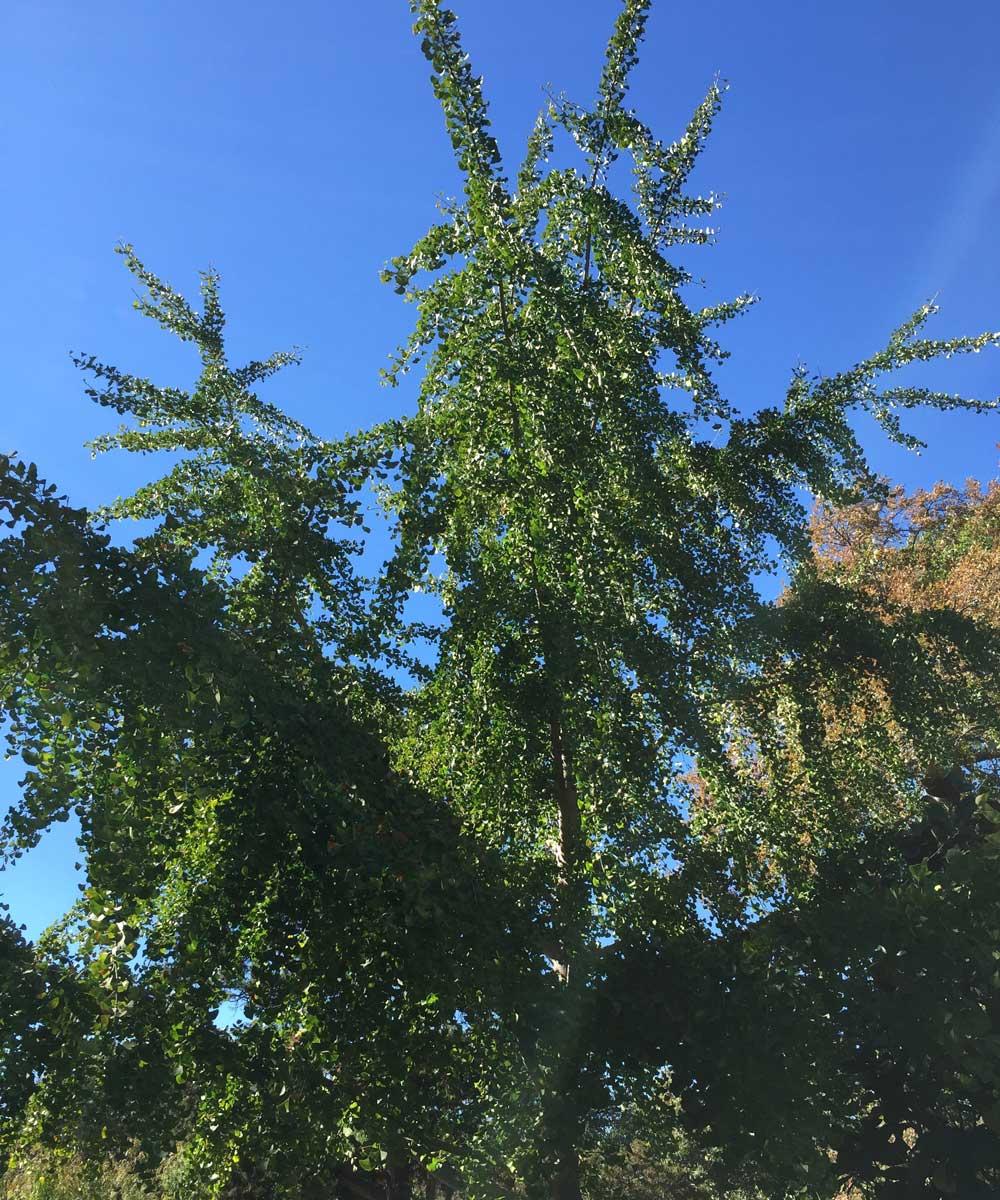 ginkgo tree (ginkgo biloba)