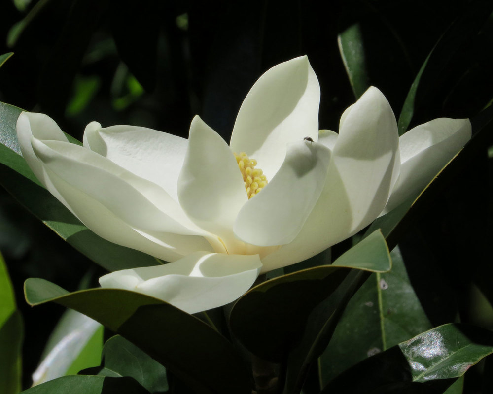 magnolia tree flower bloom