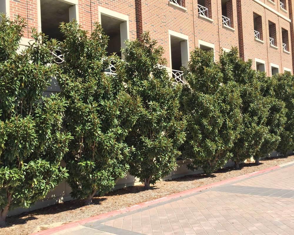 magnolia trees (magnolia grandiflora)