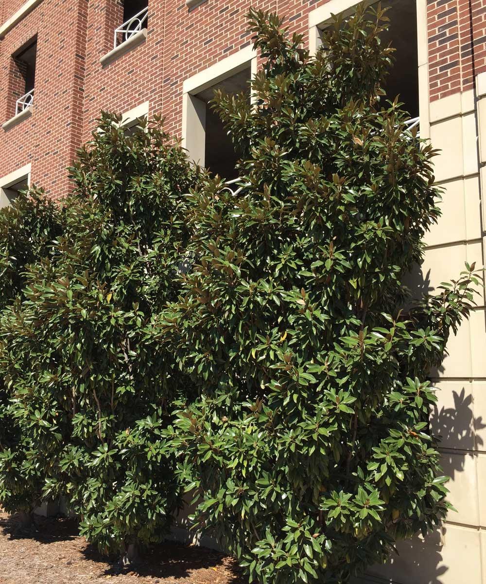 magnolia trees (magnolia grandiflora 'dd blanchard'