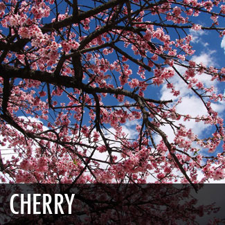 Plants for dallas your source for the best landscape plant cherry tree sciox Choice Image