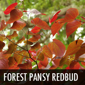 forest pansy redbud treee
