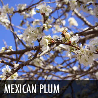 mexican plum tree