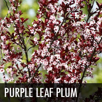 purple leaf plum tree