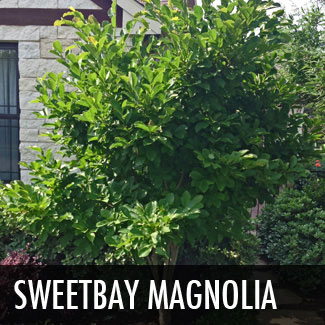 sweetbay magnolia tree