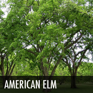 Plants for dallas your source for the best landscape plant american elm tree sciox Choice Image