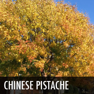 chinese pistache tree