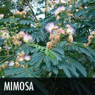 mimosa tree (albizia julibrissen)