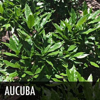 japanese aucuba (aucuba japonica)