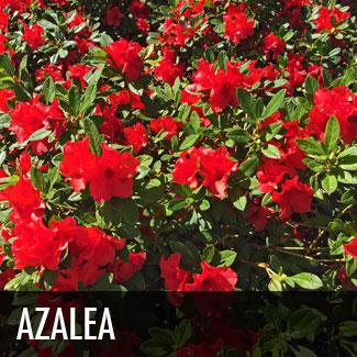 azalea (rhododendron x)