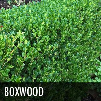 boxwood (buxus microphylla)
