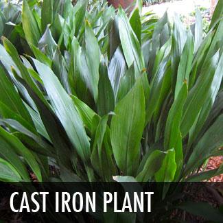 cast iron plant (aspidistra eliator)