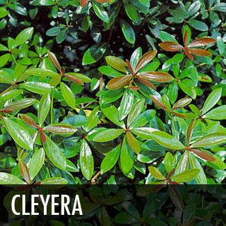 cleyera (ternstroemia gymnanthera)