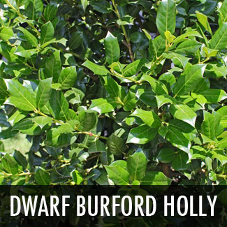 dwarf burford holly shrub