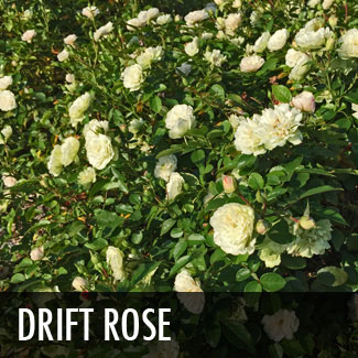 drift rose (rosa hybrida 'drift')