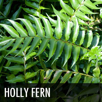 japanese holly fern (cyrtomium falcatum)