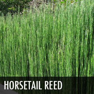 horsetail reed - equisetum hyemale