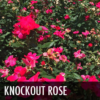 knockout-rose-red-blooms