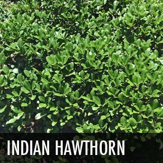 indian-hawthorn