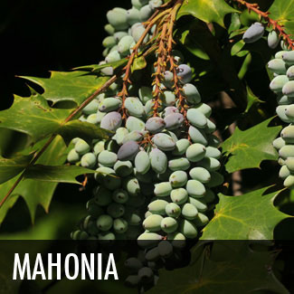 leatherleaf-mahonia