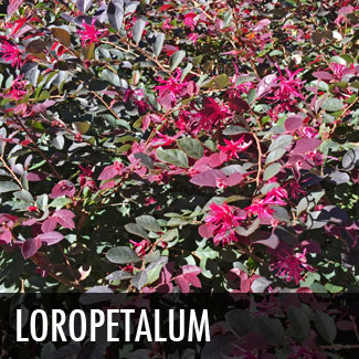 loropetalum-shrub-fringe-flower