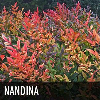 nandina shrub
